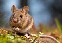 Ratones sordos vuelven a oír gracias a una terapia génica