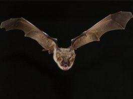 los murciélagos