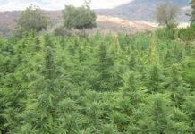El cannabis cotiza por encima de Apple y Amazon.
