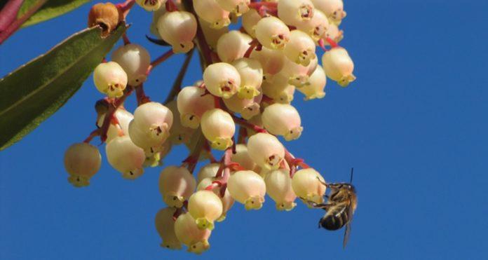 Características de la miel de madroño