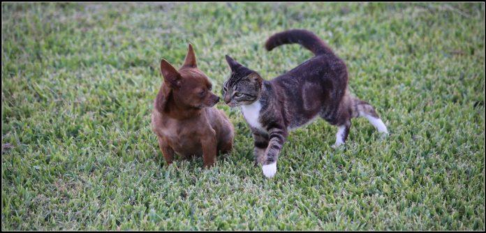 Cachorros de Perro y gato jugando - Mascota