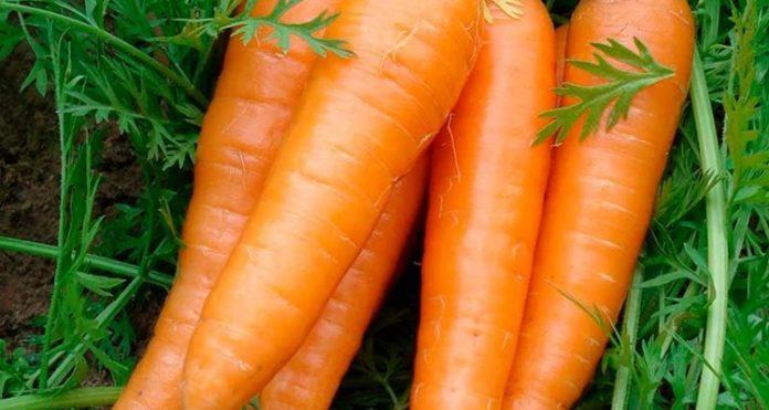 Zanahorias Esta Es Su Historia Y Asi Cambiaron De Color La zanahoria es un vegetal crocante, suculento, dulce y es bastante usado en la cocina. zanahorias esta es su historia y asi