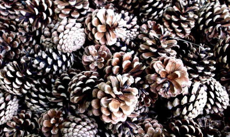 cascara piñas piñones biomasa