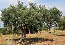 andalucia-olivar-estrategico