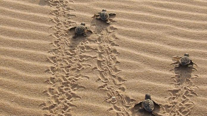 nacimiento tortugas en el mido del Parador El Saler