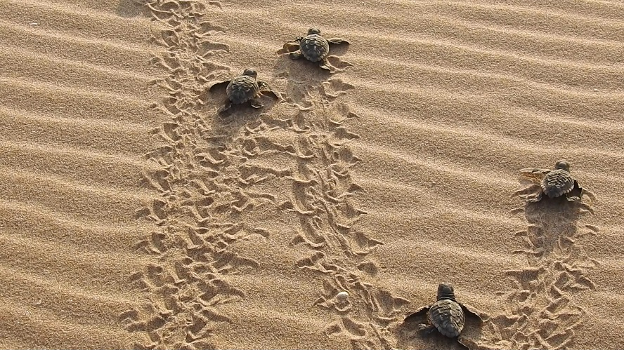 Nacen 26 tortugas bobas en el nido del Parador de e El Saler