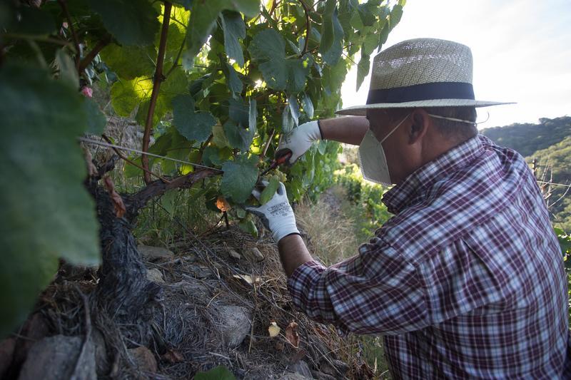 Asociaciones de viticultores denuncian incumplimientos en los contratos por parte de las bodegas