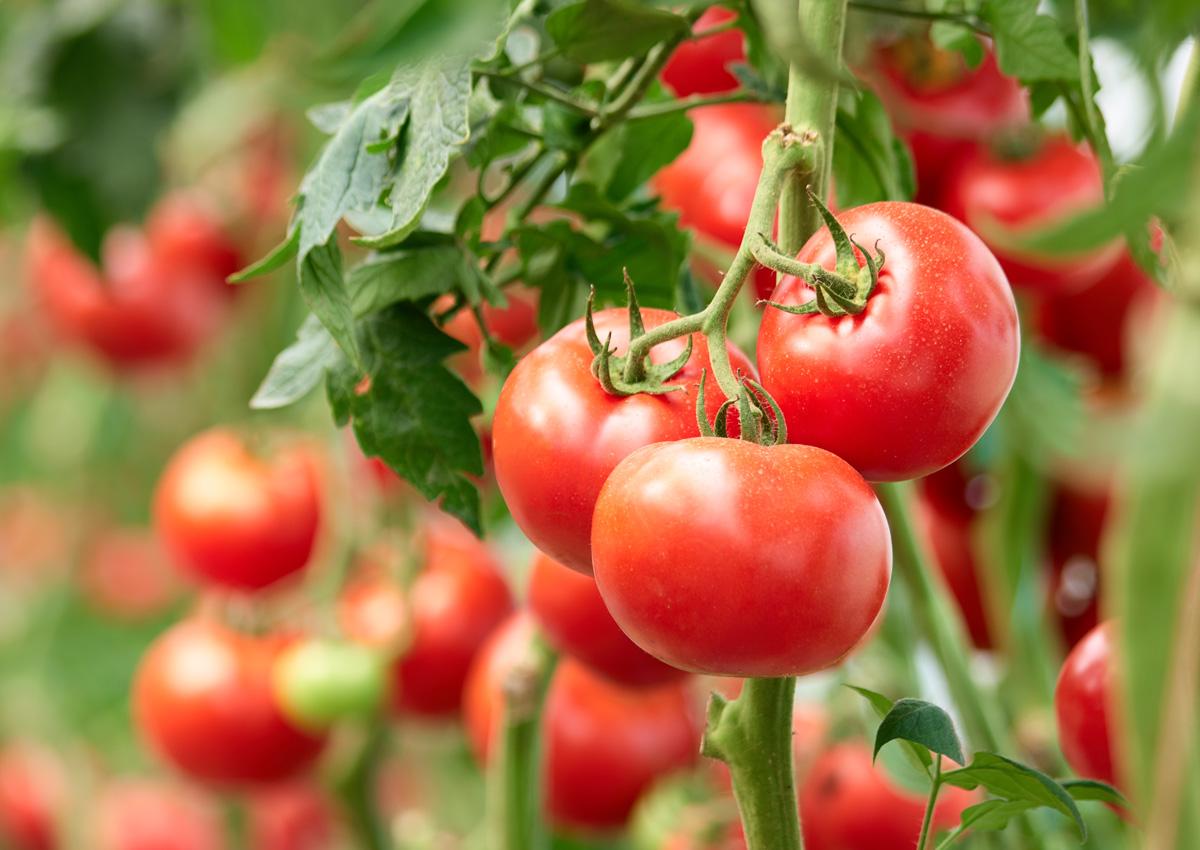Crisis del tomate marroquí: llega a España con código de rastreo falso