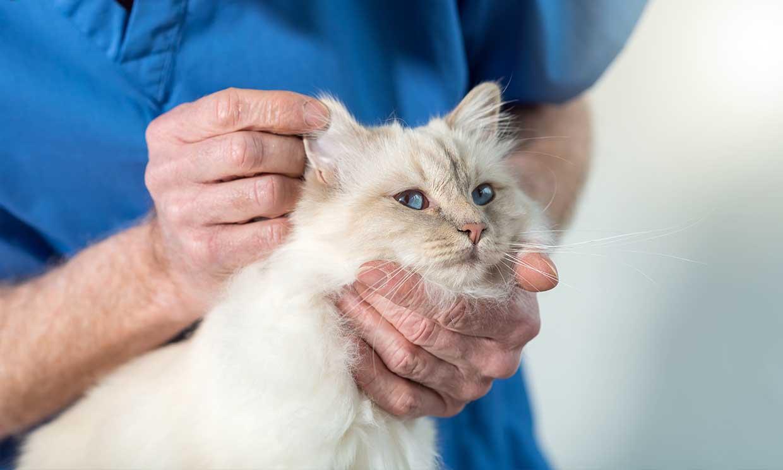 Cómo curar la otitis y la conjuntivitis en los gatos