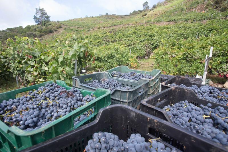 La Interprofesional del Vino de España estima una cosecha corta y de buena calidad para esta campaña