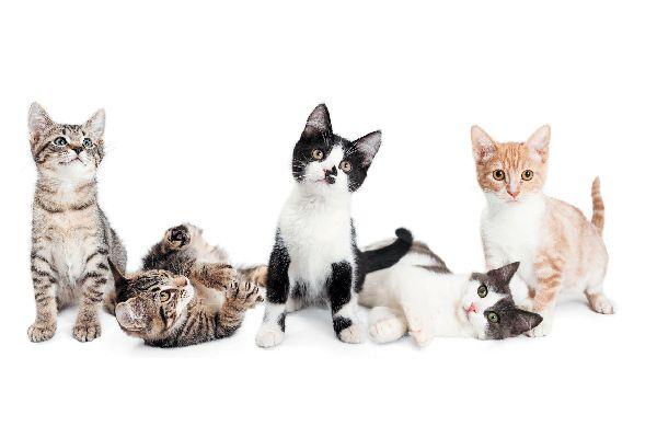 Estas son las razas de gato que mejor se llevan con las personas