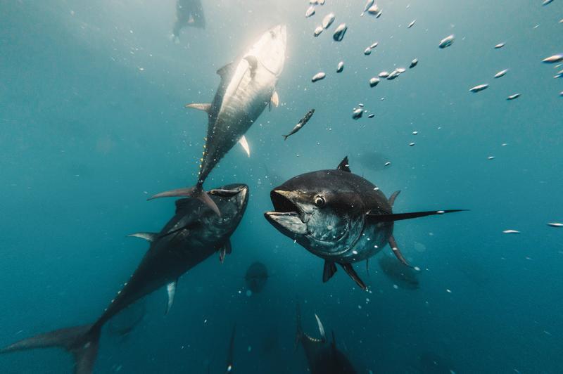 AZTI y Balfegó se unen para impulsar proyectos de investigación para la pesca del atún rojo